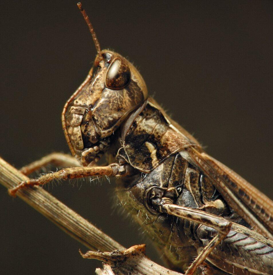 Acrididae-6888.jpg