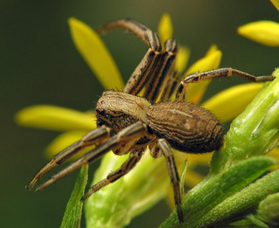 Thomisidae-6889.jpg