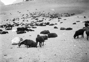 juodų avių banda