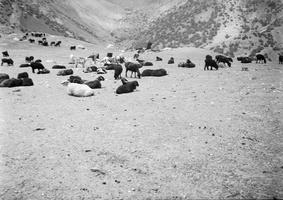 juodų avių banda 1
