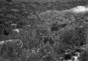038 kalnų karvės