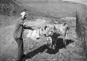 330 Nerijus Kisielius, karvės