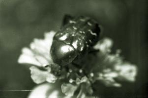 bronzinukas
