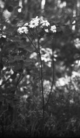 Tanacetum corymbosum · skėtinis skaistenis