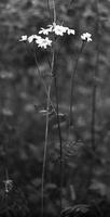 Skėtinis skaistenis - Tanacetum corymbosum