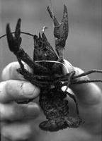 Astacus leptodactylus · siauražnyplis vėžys