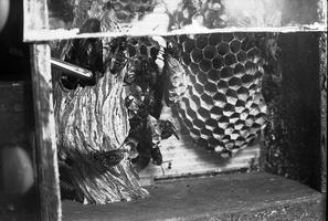 Vespa crabro - širšuolas