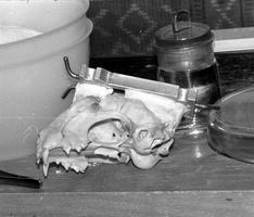 katės kaukolė