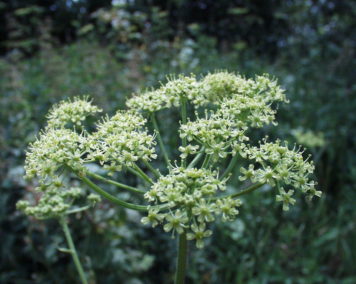Apiaceae-P6230094.jpg