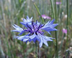 Centaurea cyanus · rugiagėlė