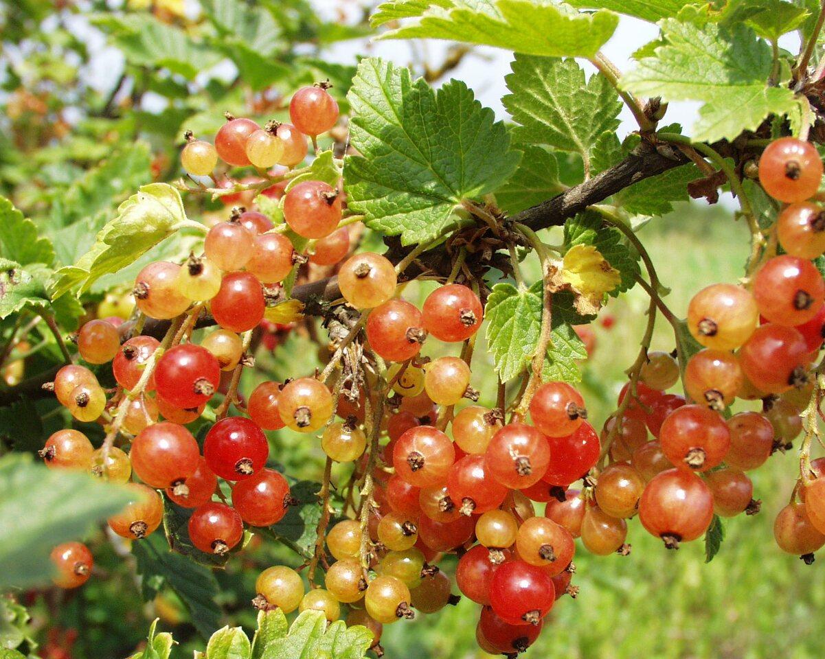 Ribes-rubrum-P6230102.jpg