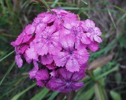 Dianthus barbatus · šiurpinis gvazdikas