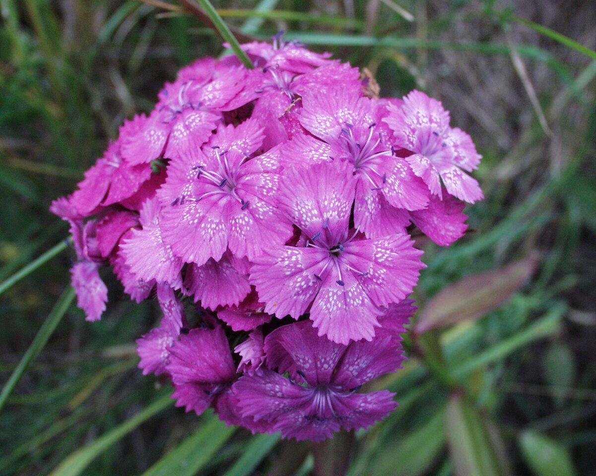 Dianthus-barbatus-P6230114.jpg