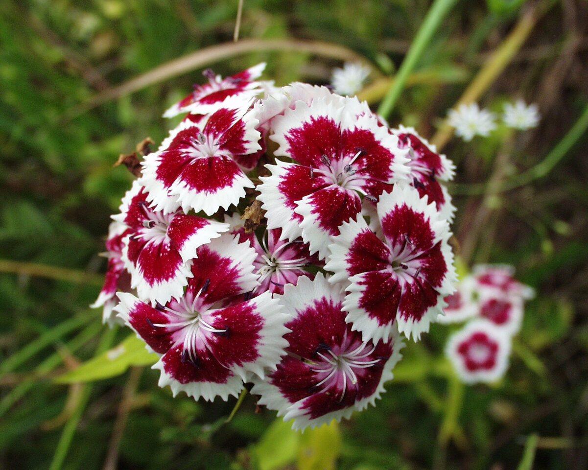 Dianthus-barbatus-P6230115.jpg