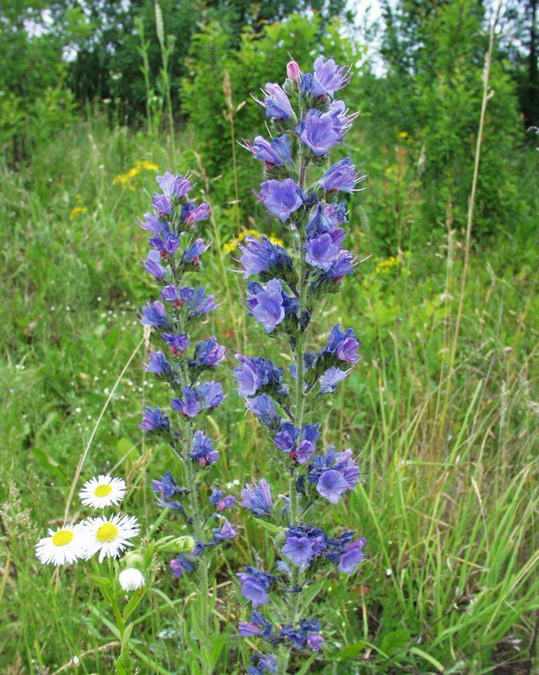Echium-vulgare-P6230121.jpg