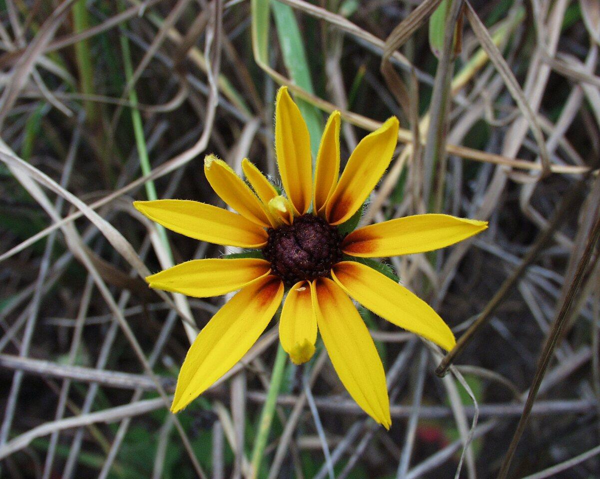Rudbeckia-bicolor-P6230126.jpg