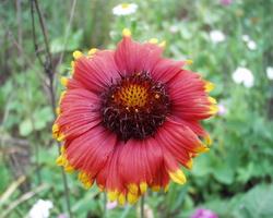 Gaillardia aristata · akuotuoji gailiardija