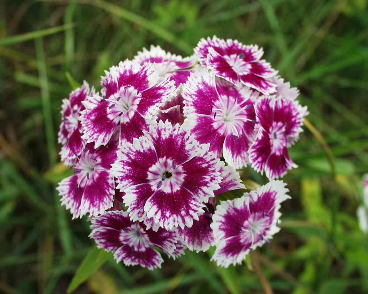 Dianthus-barbatus-P6230131.jpg