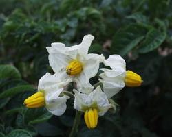 Solanum tuberosum · valgomoji bulvė