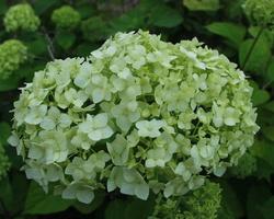 Hydrangea arborescens · šviesioji hortenzija
