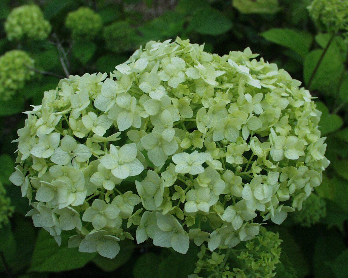 P6230140-Hydrangea-arborescens.jpg