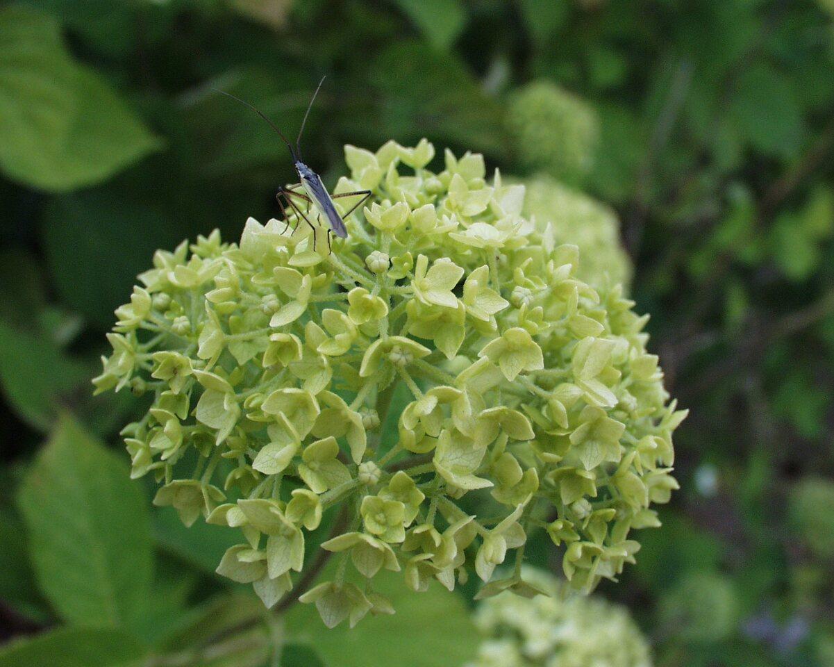 P6230141-Hydrangea-arborescens.jpg