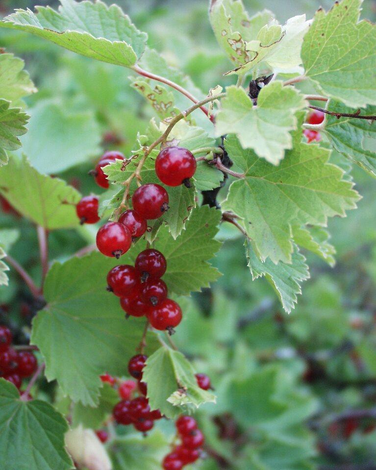 Ribes-rubrum-P6230146.jpg