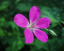Geranium palustre · pelkinis snaputis