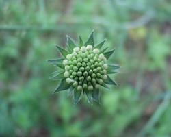 Knautia arvensis · dirvinė buožainė