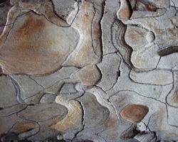 Pinus sylvestris · paprastoji pušis
