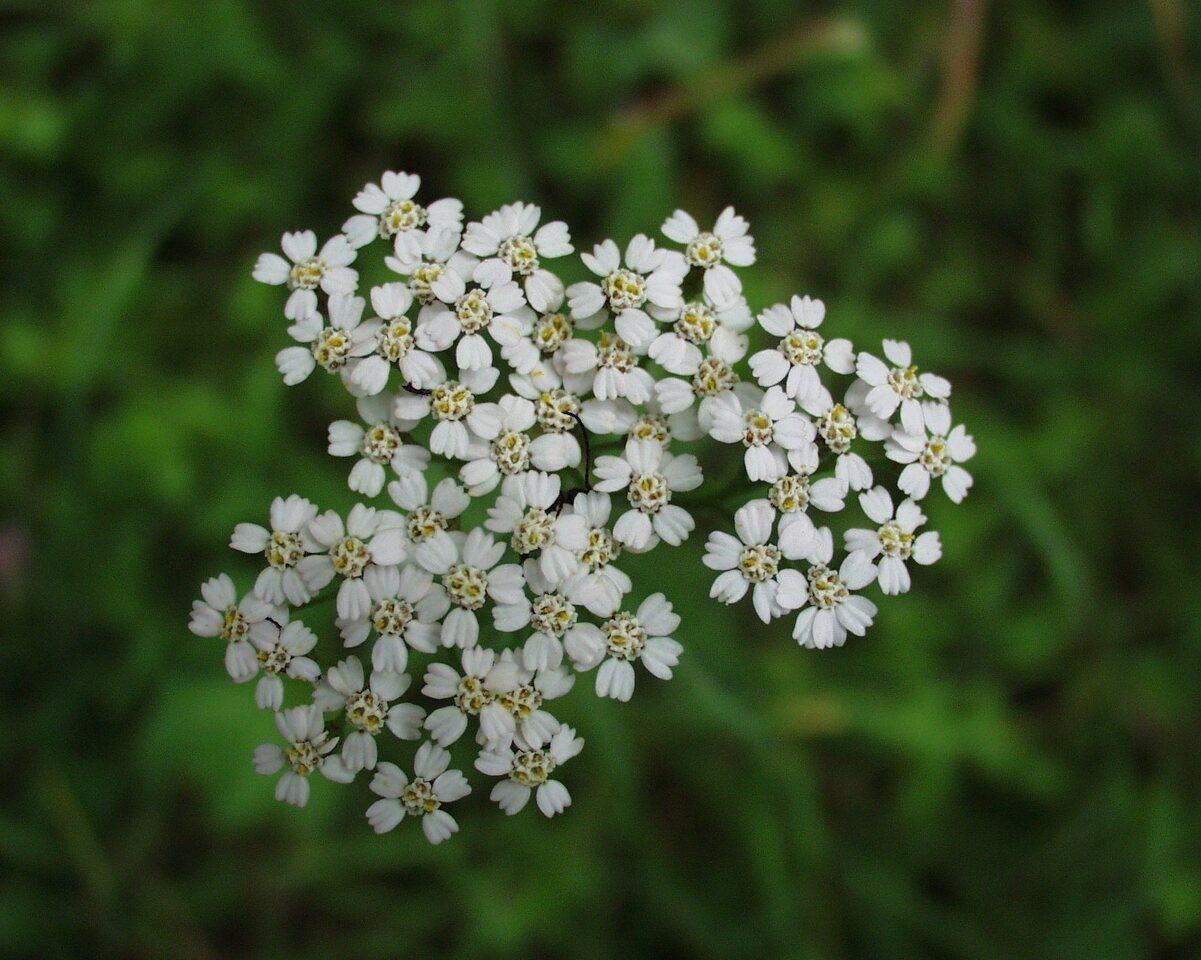 Achillea-millefolium-P6230183.jpg