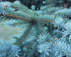 Picea pungens · dygioji eglė