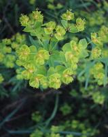 Euphorbia cyparissias · siauralapė karpažolė
