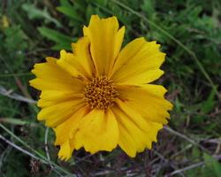 Coreopsis grandiflora · stambiažiedis gludas
