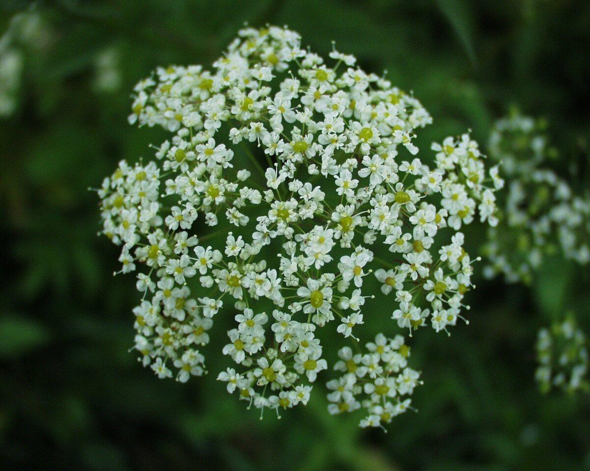 Apiaceae-P6290395.jpg
