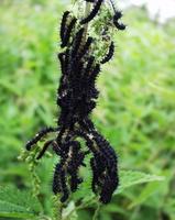 Aglais io larvae · spungė, vikšrai