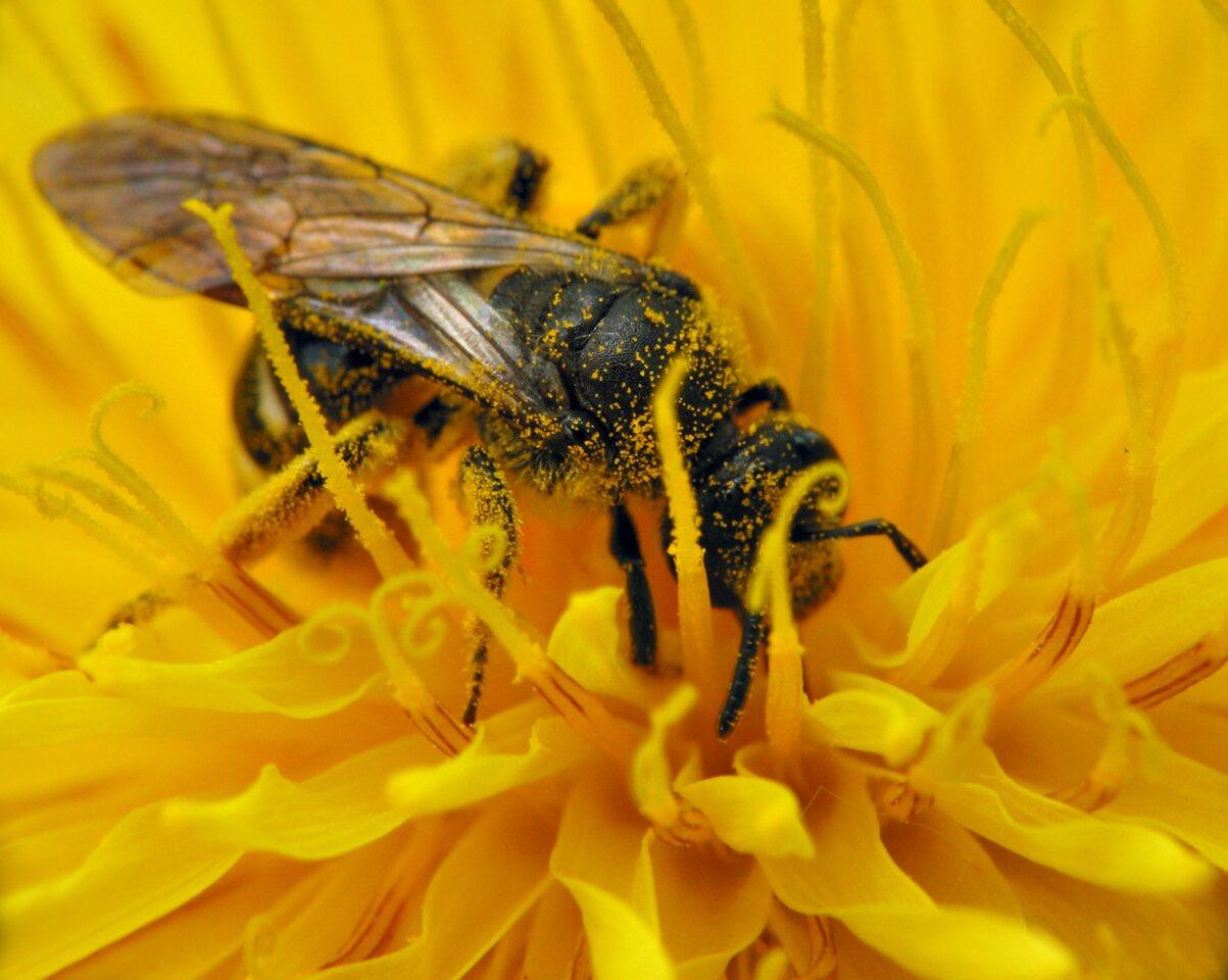 Apidae-7505.jpg