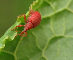 Apion frumentarium · rūgštyninis apionas