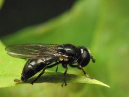 Syrphidae · žiedmusės 7603