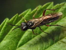 Taxonus agrorum · pjūklelis