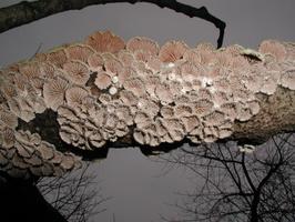 Schizophyllum commune · paprastoji alksniabudė