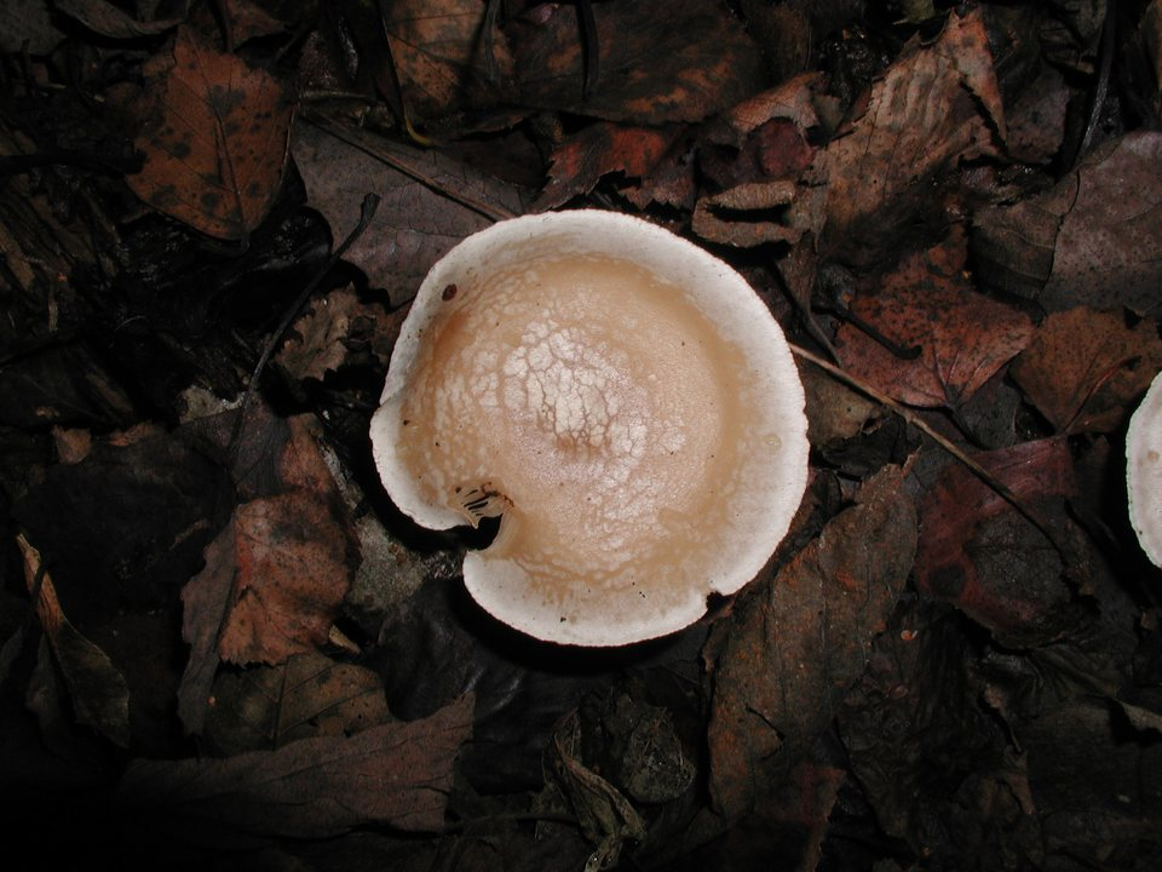Clitocybe-tornata-PB180117.jpg