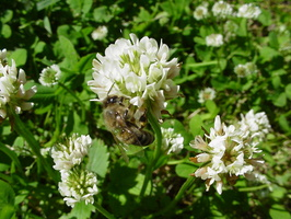 Trifolium repens · baltasis dobilas