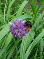Allium schoenoprasum · laiškinis česnakas