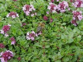 Thymus pulegioides · keturbriaunis čiobrelis