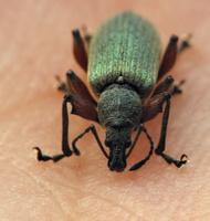 Phyllobius glaucus · lapinukas