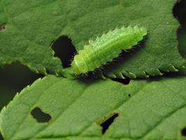 Gonioctena quinquepunctata larva · penkiataškis dygblauzdis, lerva 7627