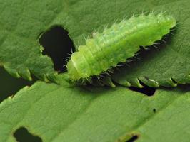 Gonioctena quinquepunctata larva · penkiataškis dygblauzdis, lerva 7628