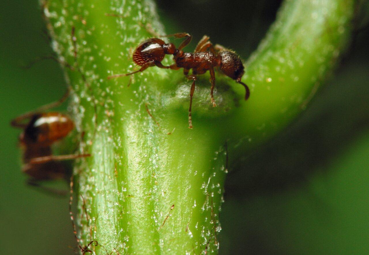Formicidae-7632.jpg