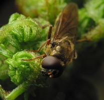 Syrphidae · žiedmusės 7635